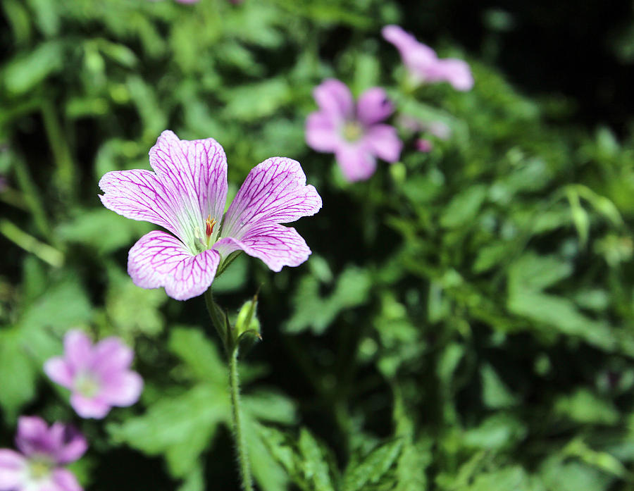 Flower Photograph - Mallow Cheeses by Paul Fell