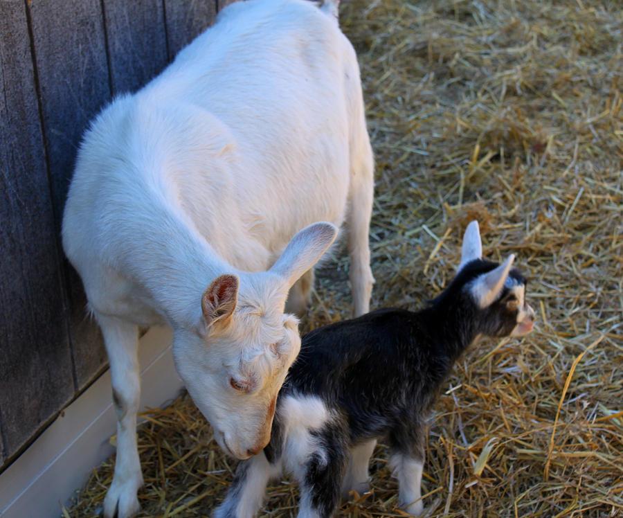 Goat Photograph - Mama And Baby by Carolyn Ricks