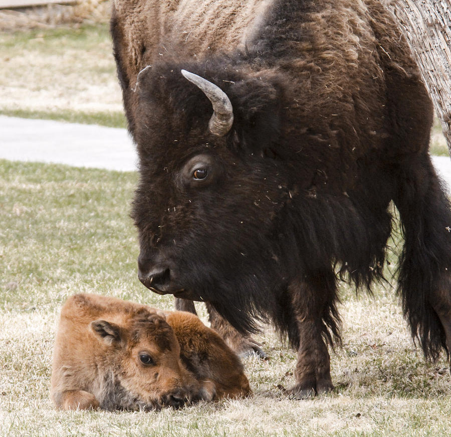 Bison Photograph - Mama and baby by Jill Bell