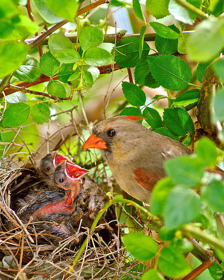 Cardinal Photograph - Mama Bird by Frozen in Time Fine Art Photography