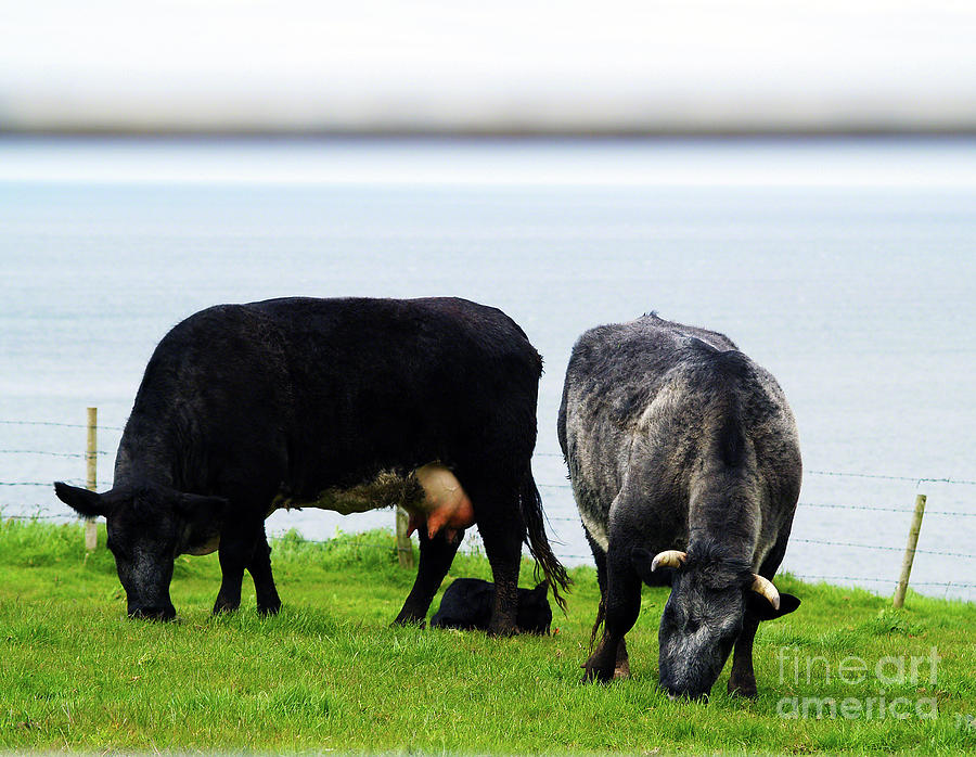 Cow Photography Photograph - Mama Daddy And Baby by Patricia Griffin Brett