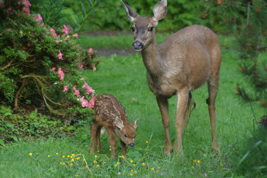 Animals Photograph - Mama Deer And Baby Bambi by Kym Backland