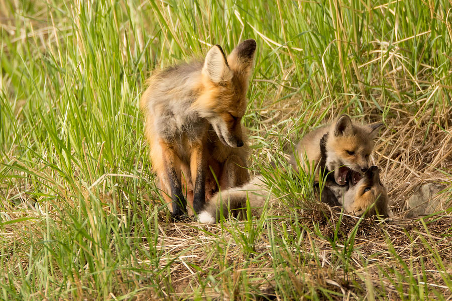 Fox Photograph - Mama Fox And Kits 2 by Natural Focal Point Photography