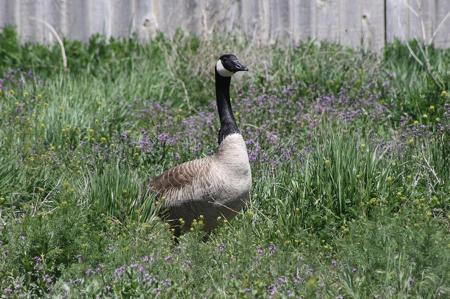 Mother Photograph - Mama Goose by Kelsey Walks