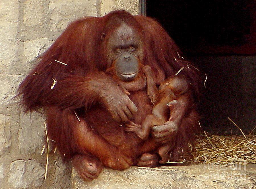 Orangutan Photograph - Mama N Baby Orangutan - 54 by Gary Gingrich Galleries