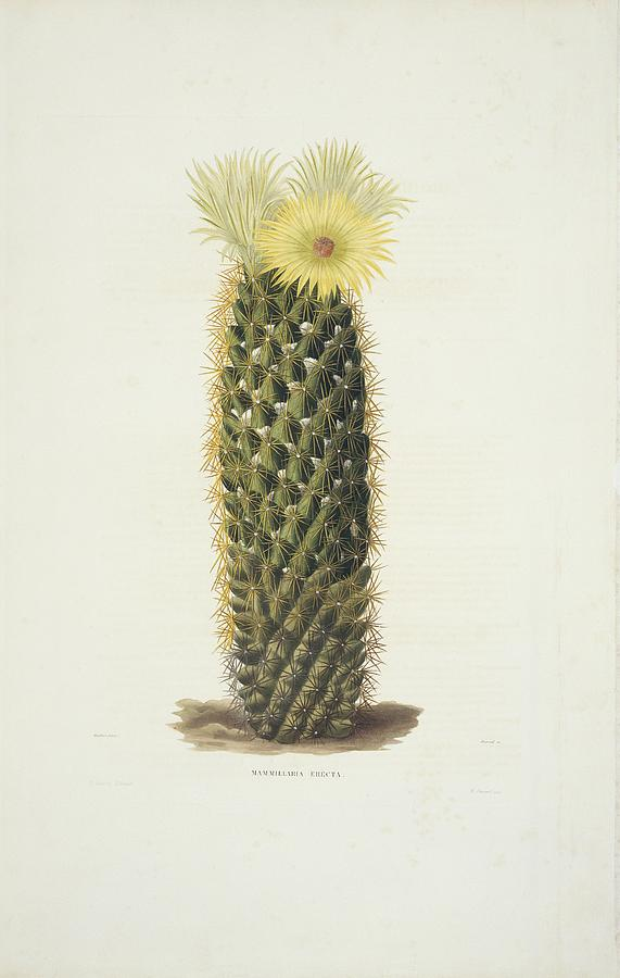 mammillaria erecta cactus artwork photograph by science photo library