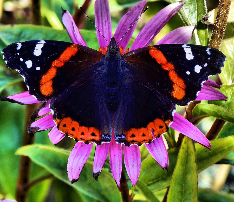 Colorful Butterfly Photograph - Mammoth Butterfly by Dan Sproul
