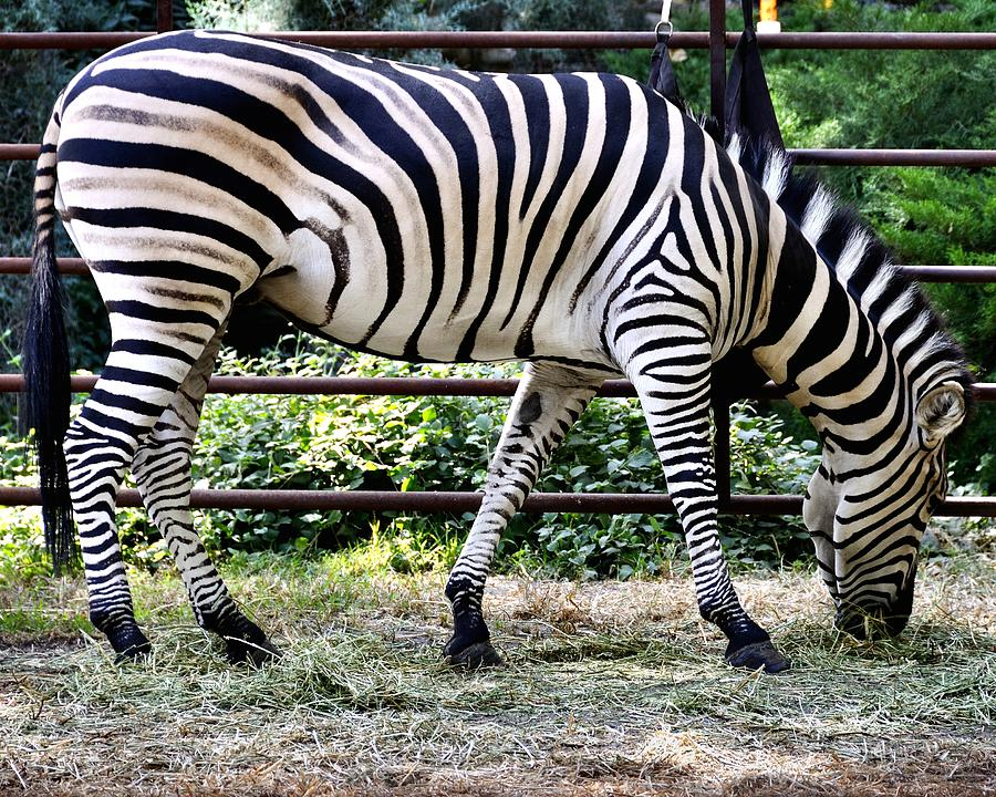 Zebra Photograph - Man Vs Nature  Lines by Jim Robinson