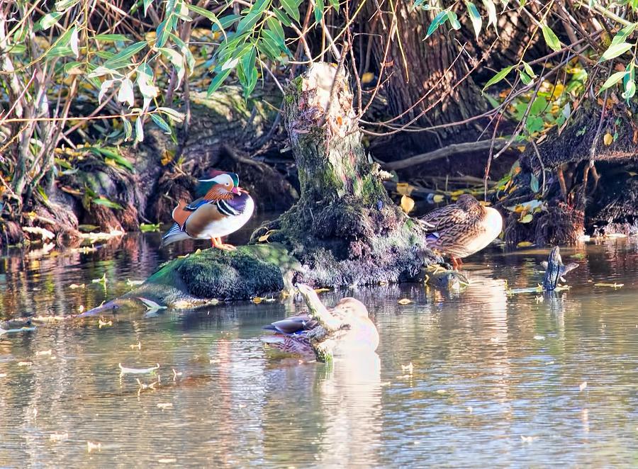 Wildlife Photographs Photograph - Mandarin Duck by Leif Sohlman
