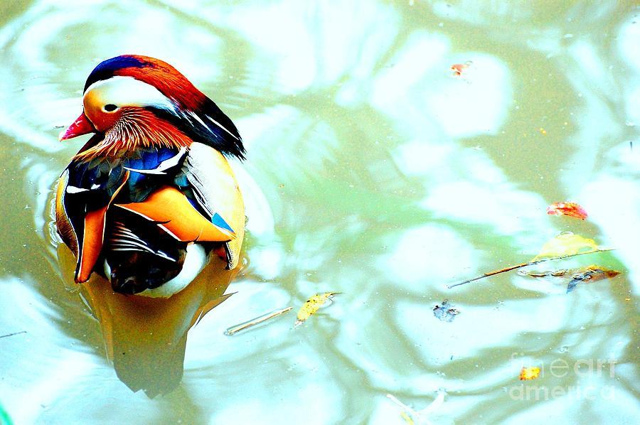 Mandarin Photograph - Mandarin Duck Resting II by C Lythgo