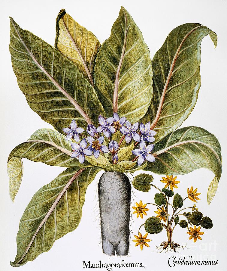 Basilius Photograph - Mandrake And Buttercup by Granger