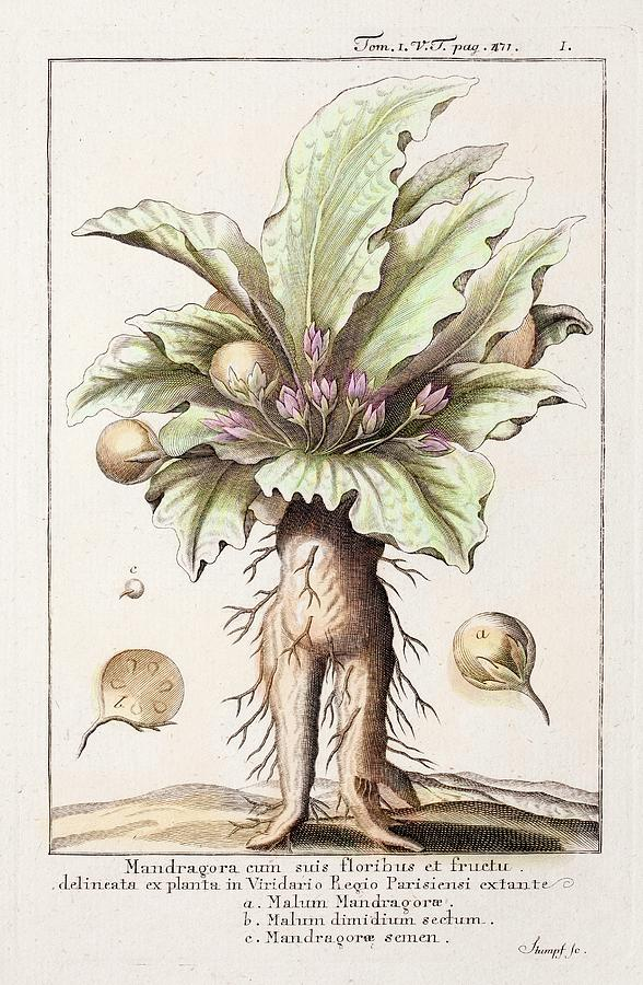 Black Magic Photograph - Mandrake Plant by Paul D Stewart