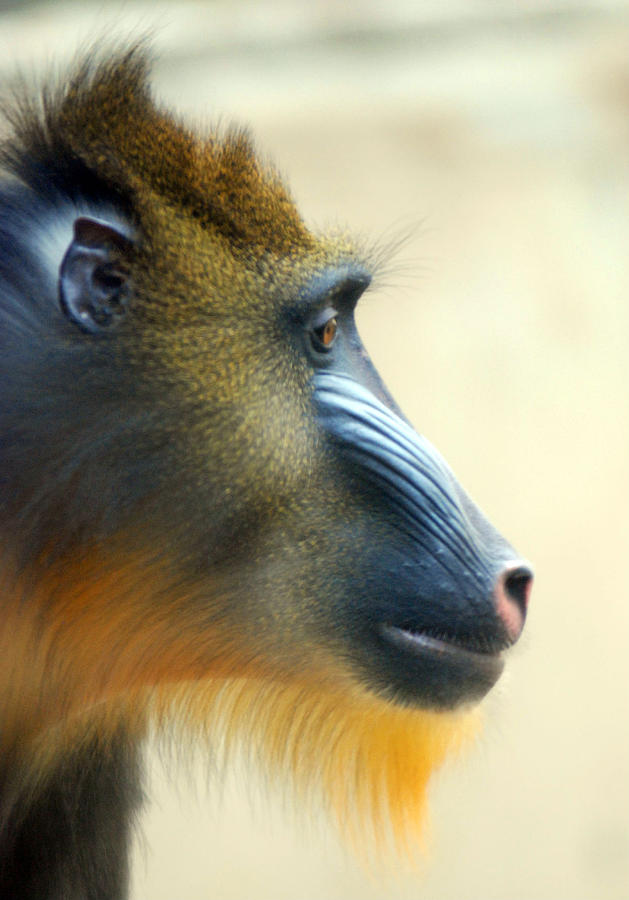 Mandrill Photograph by Floridapfe From S.korea Kim In Cherl