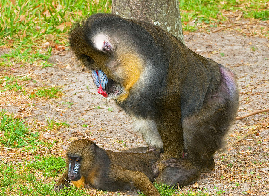 Mandrill Male And Female Mating Photograph by Millard H. Sharp