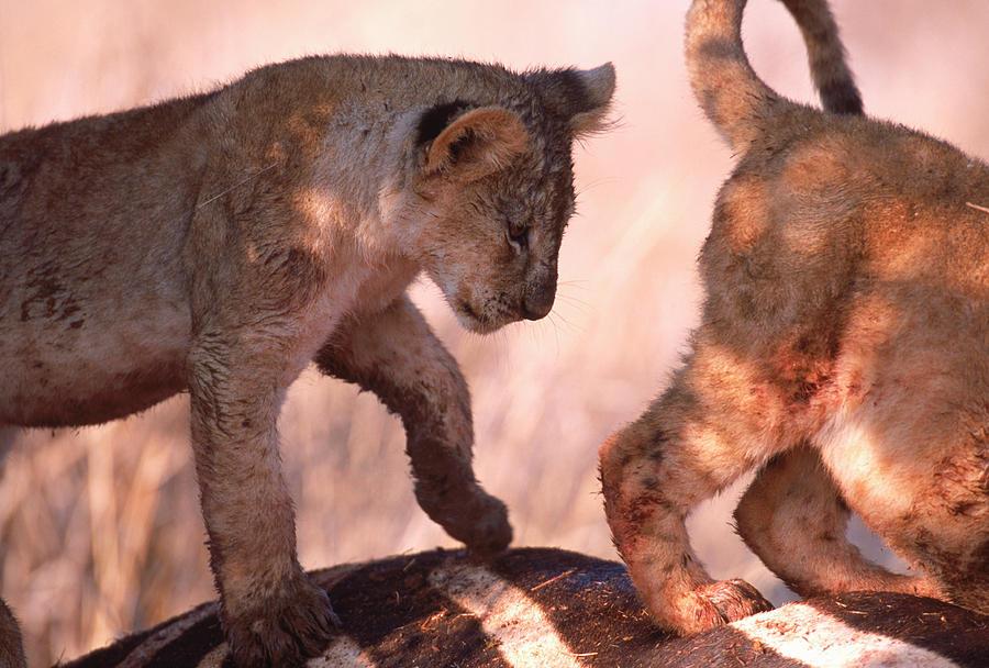 Africa Photograph - Maneless Lions Kenya Hunting Hilling by Robert Caputo
