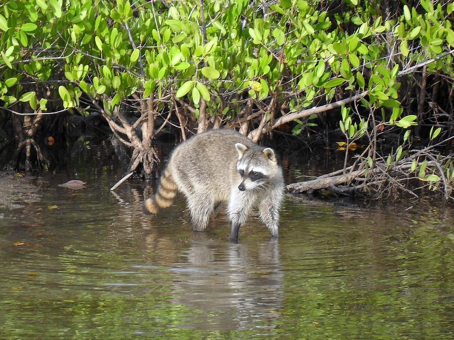 Racoon Photograph - Mangrove Coon by Bob Jackson