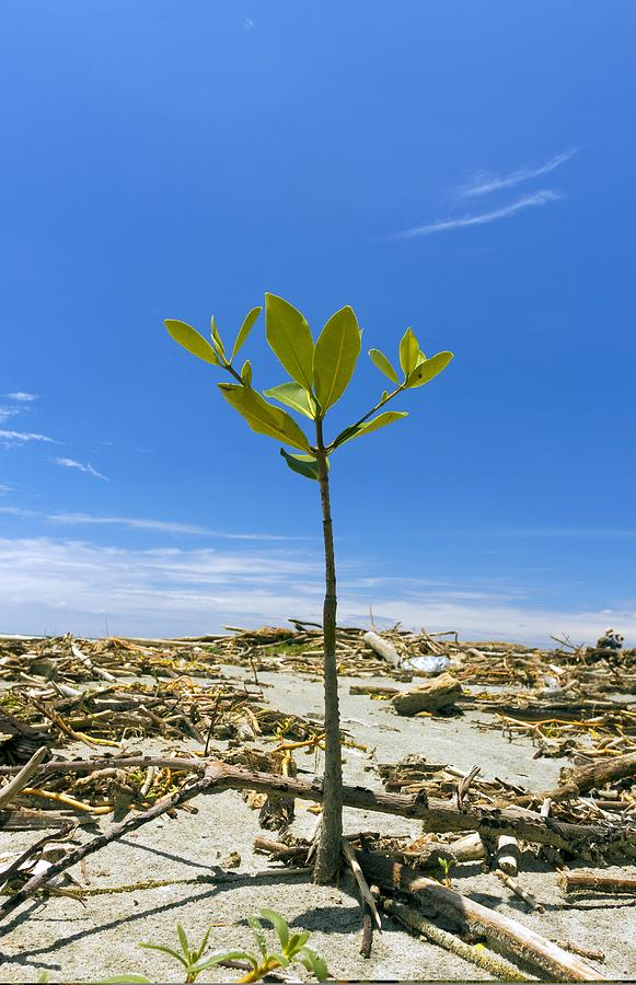 Tropical Photograph - Mangrove Seedling On A Beach by Science Photo Library