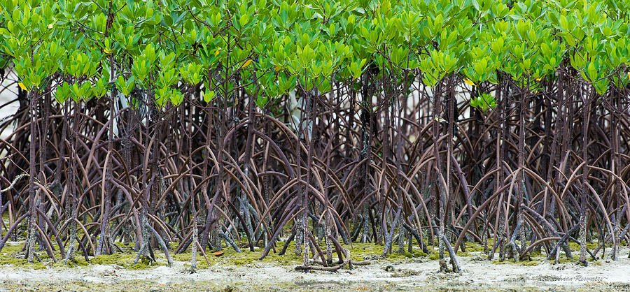 Mangroves by Avian Resources