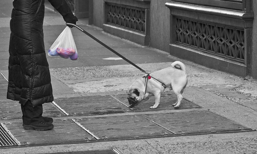 Pug Photograph - Manhattan  Moment by Larry Goss