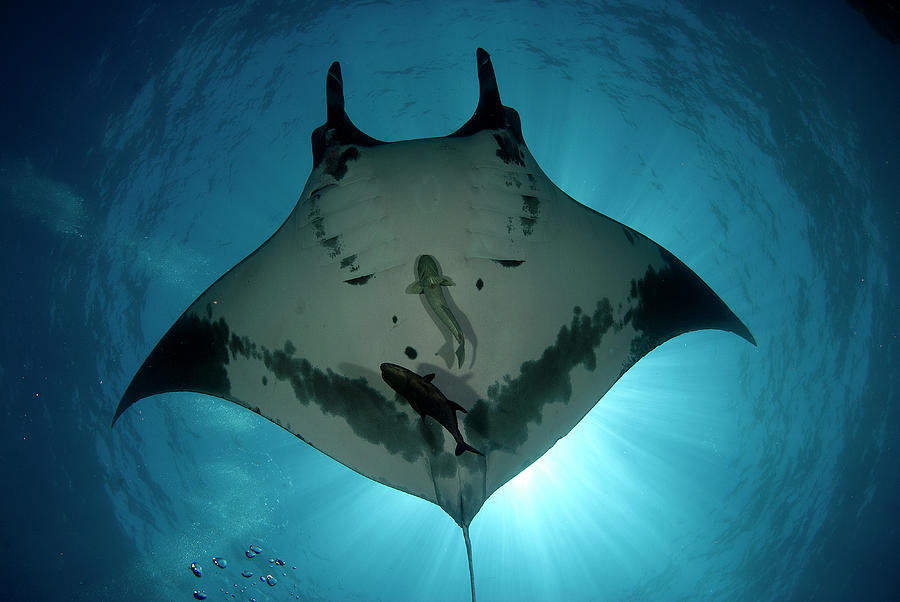 Manta Ray Of Revillagigedo Photograph by Luis Javier Sandoval