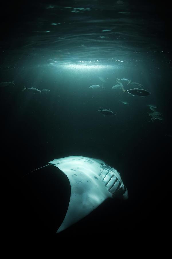 Manta Ray Swims Under Light At Night Photograph by Sirachai Arunrugstichai