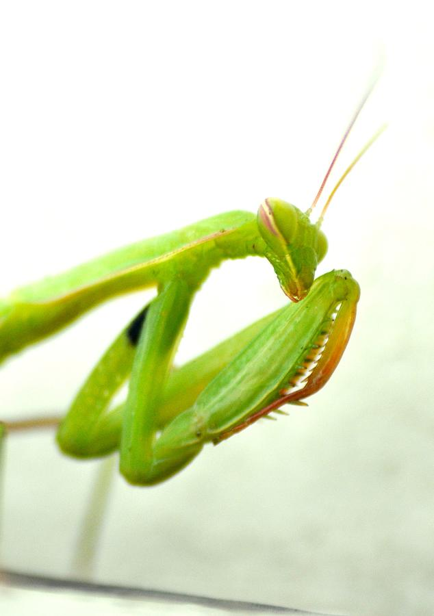 Insect Photograph - Mantis Might by Patricia Thebo