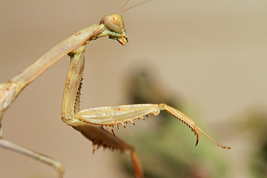 Praying Mantis Photograph - Mantis On The Hunt by Shoal Hollingsworth