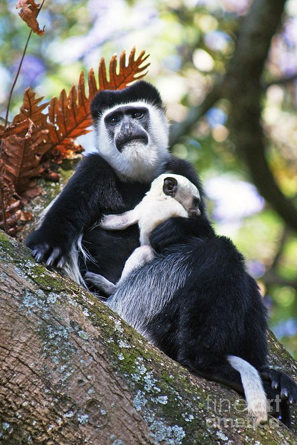 Mantled Guereza Photograph - Mantled Guereza Mother And Baby by Brian Gadsby