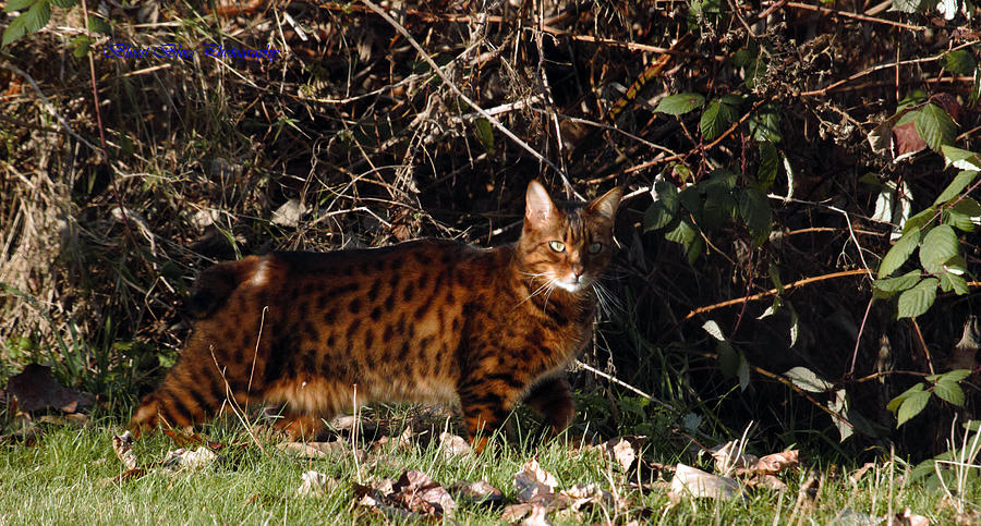 Manx Cat Photograph - Manx Cat by Ed Nicholles