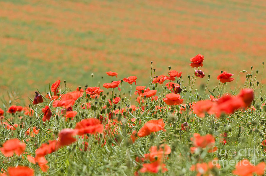 Annual Photograph - Many Poppies by Anne Gilbert