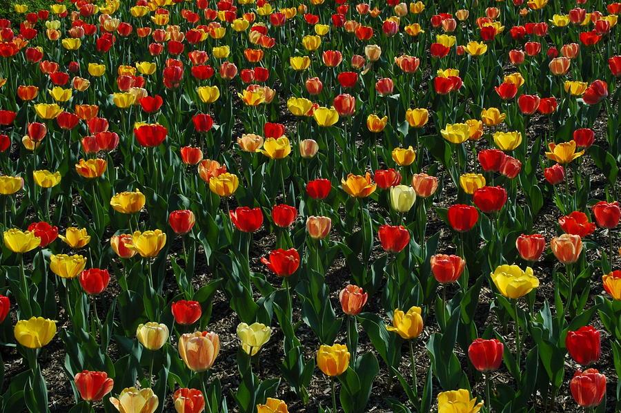 Tulips Photograph - Many Tulips by Raymond Salani III