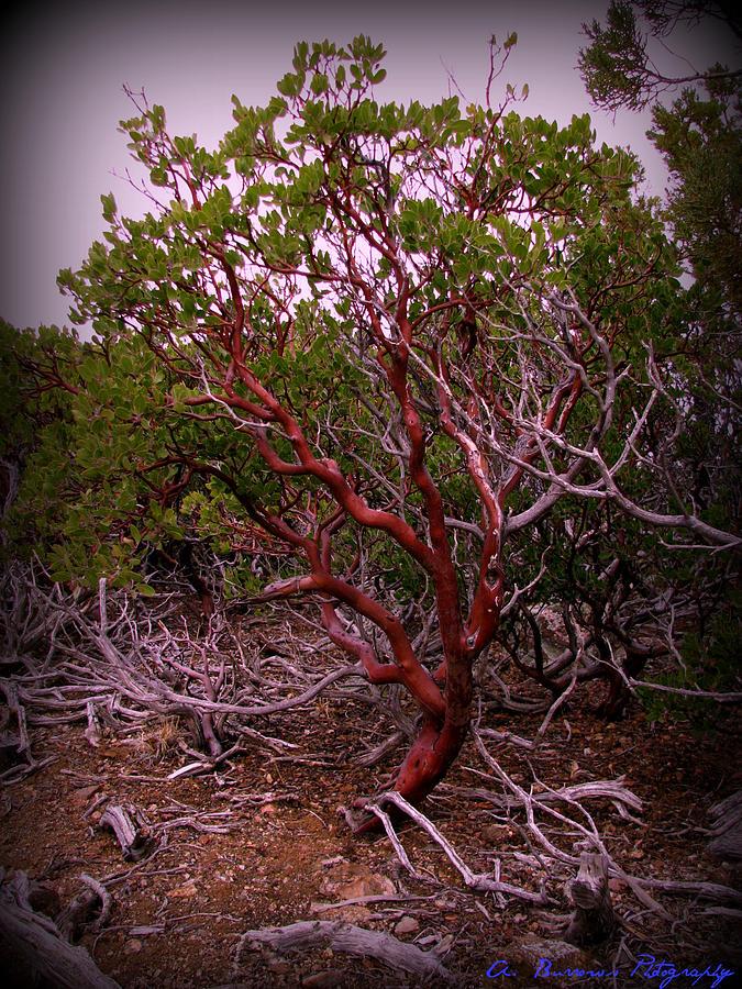 Manzanita Bush Photograph By Aaron Burrows