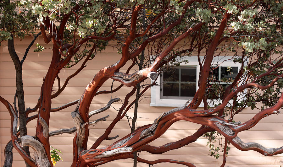 Manzanita Photograph - Manzanita by Denice Breaux