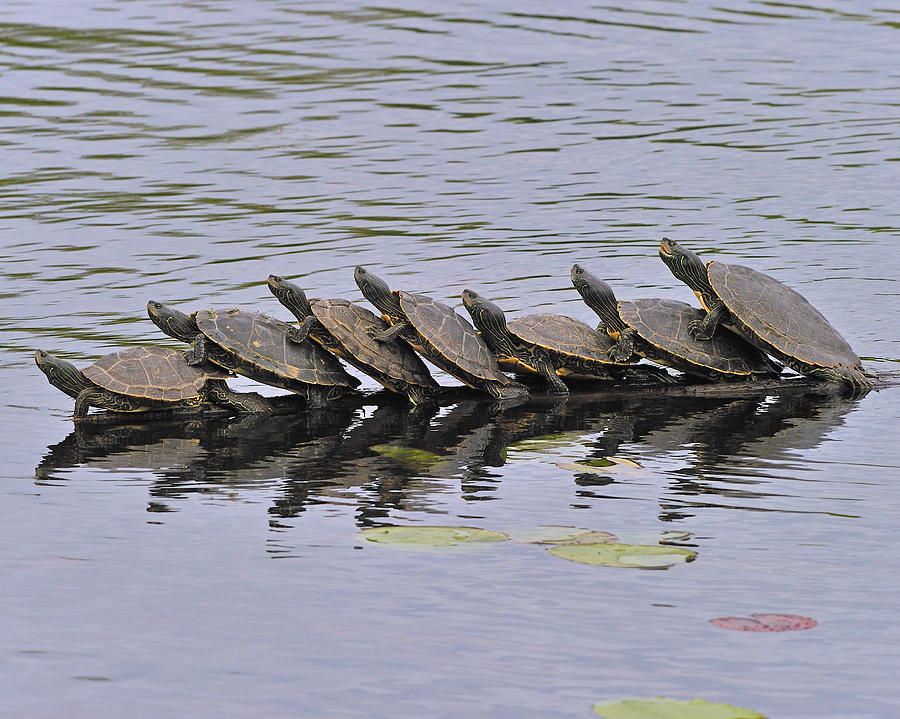 Map Turtles Photograph - Map Turtles by Tony Beck