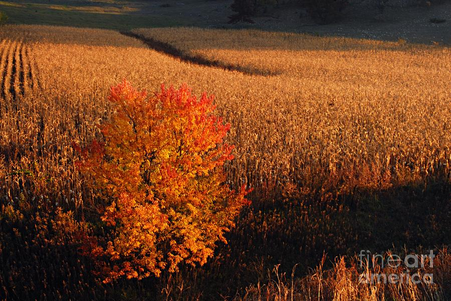 Photography Photograph - Maple And Cornfield At Dawn by Larry Ricker