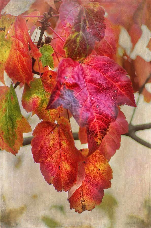 Maple Leaf Photograph - Maple Colors by Susan Capuano