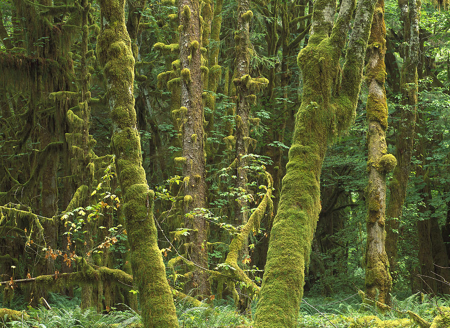 Maple Glade Quinault Rainforest Photograph by Tim Fitzharris