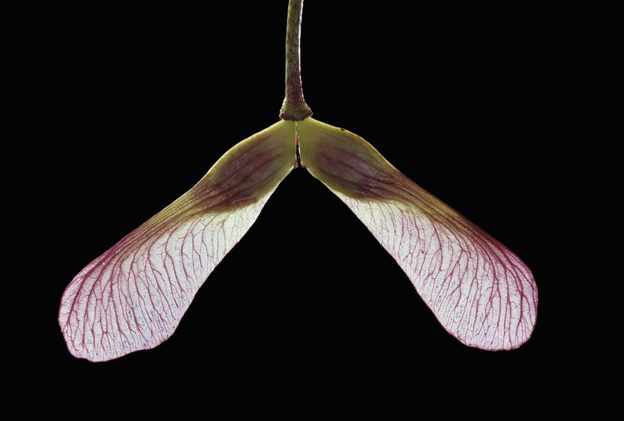 Maple Keys Or Samara Are The Fruit Of The Maple Tree. The Fruit Is Winged Shaped Allowing It To Transport The Seed Through The Air To A New Location. T Photograph by Jerome Wexler