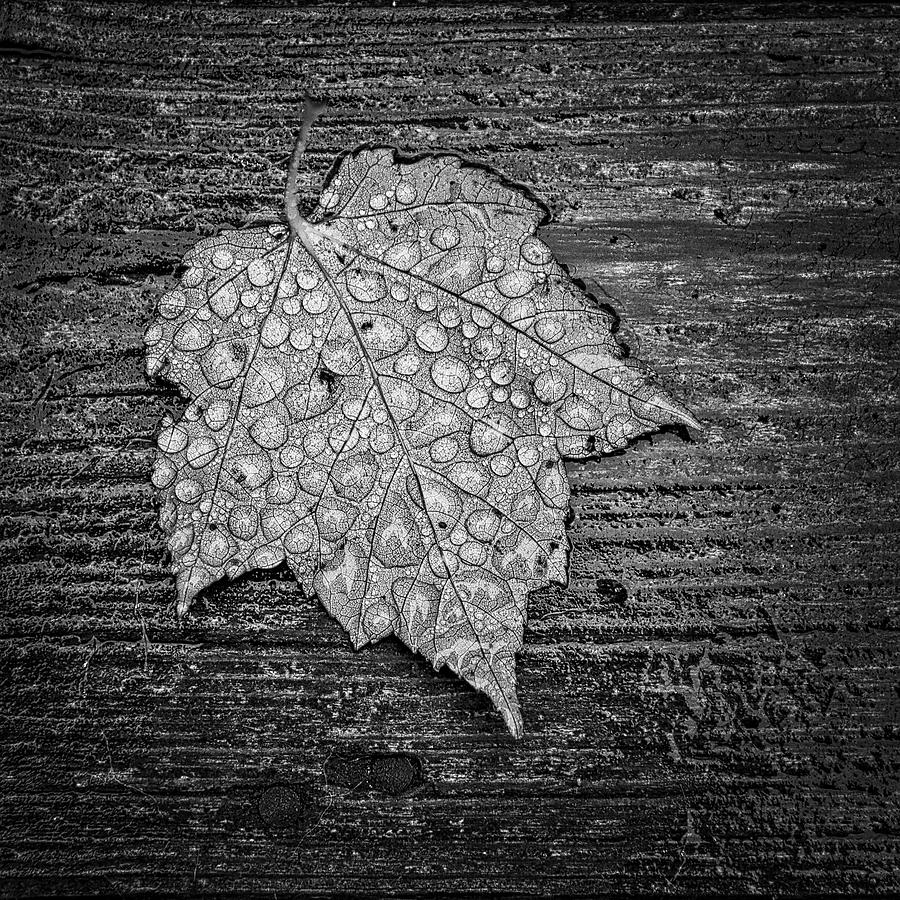 1:1 Photograph - Maple Leaf Covered In Dew by Jeff Sinon
