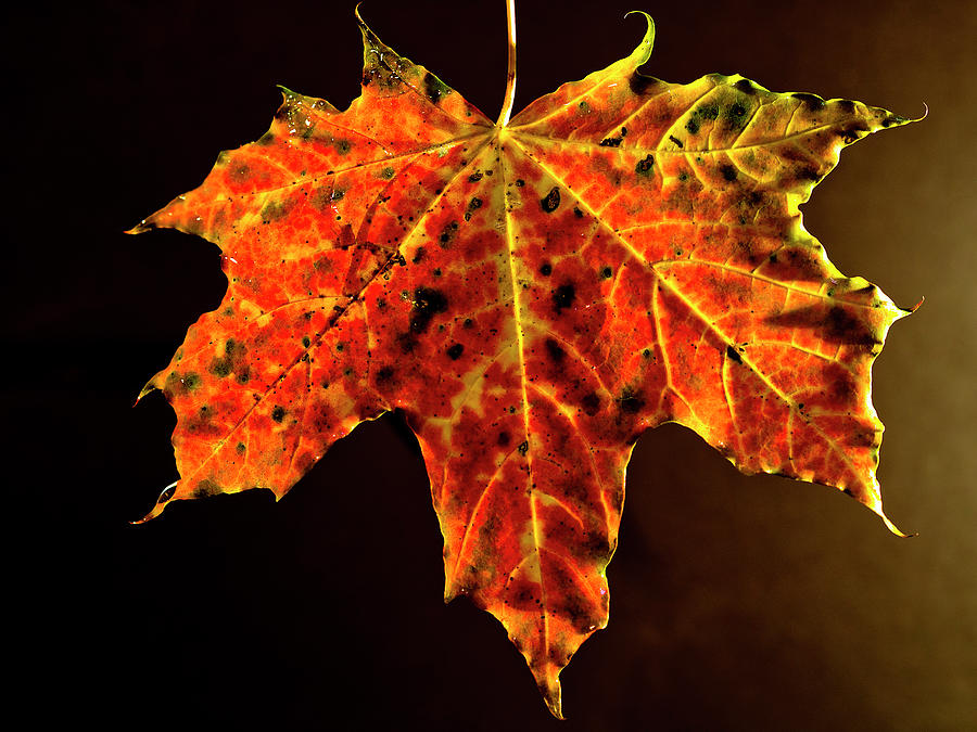 Maple Leaf In Autumnal Colouring Photograph by Bernd Schunack