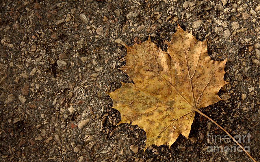 School Events Photograph - Maple Leaf On The Ground by Jolanta Meskauskiene
