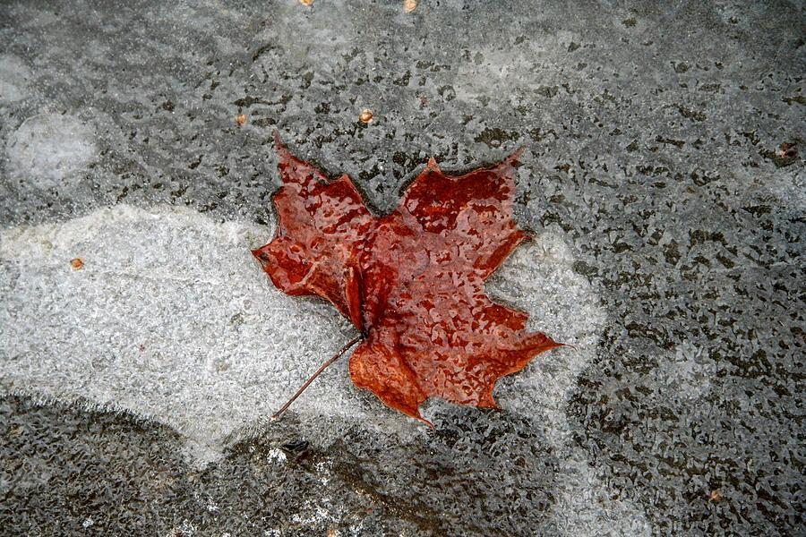 Maple Leaf Photograph - Maple Leaf Under Ice by Carolyn Reinhart