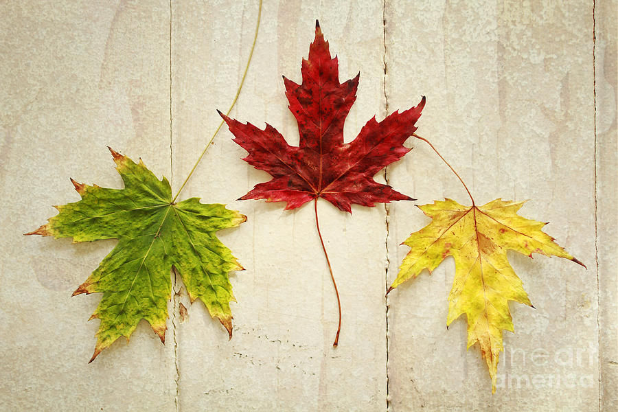 Green Photograph - Maple Leave by Isabel Poulin
