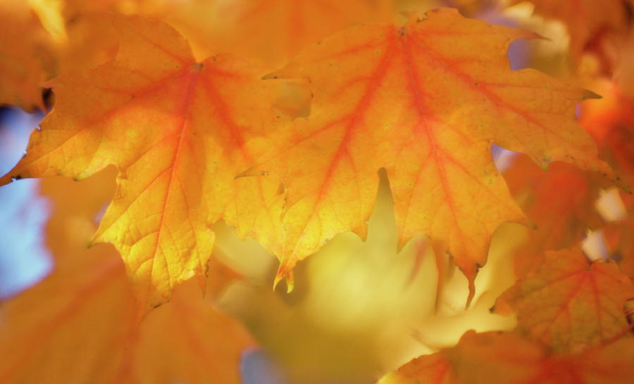 Acer Saccharum Photograph - Maple Leaves (acer Saccharum) by Maria Mosolova/science Photo Library