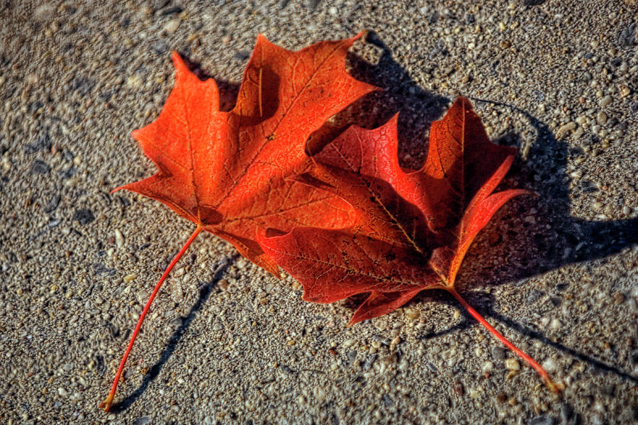 Maple Photograph - Maple Leaves (acer Sp.) by Maria Mosolova/science Photo Library