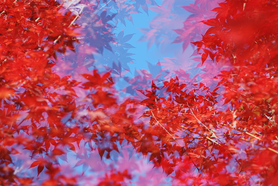Leaf Photograph - Maple Leaves by Catherine Lau