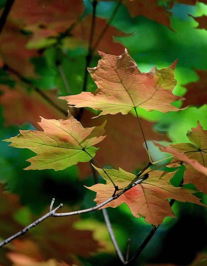 Leaves Photograph - Maple Leaves In The Shadows by Rosanne Jordan