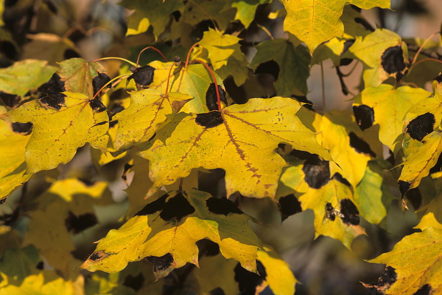 Acer Photograph - Maple Leaves With Tar Spot by Jeanne White