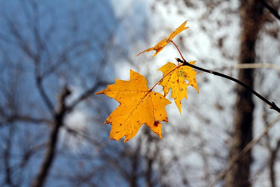 Maple Leaf Photograph - Maple On The Blue by Abril Gonzalez