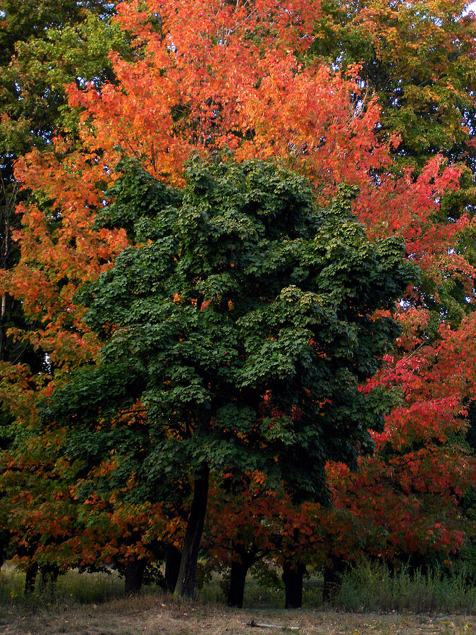 Nature Photograph - Maple Tree Variations by Michel Mata